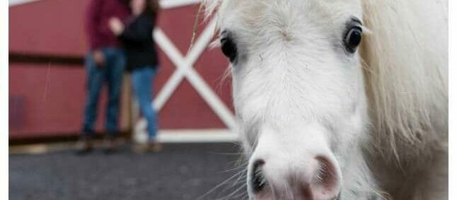 miniature pony with engaged couple kissing in the background