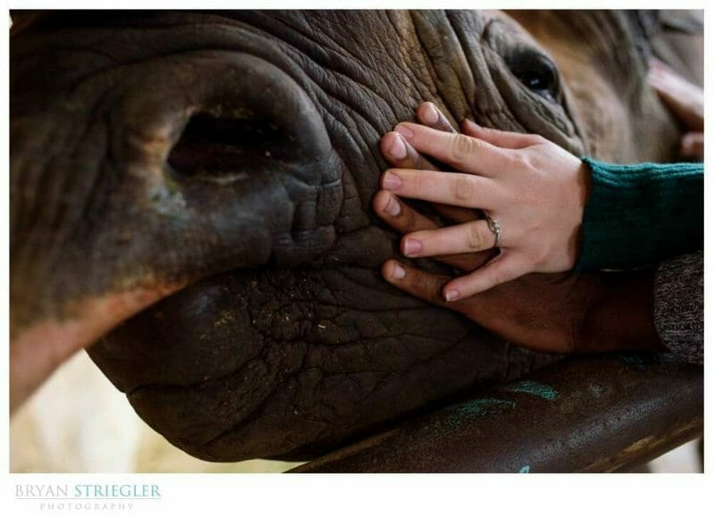 engagement photo with wedding rings and a rhino