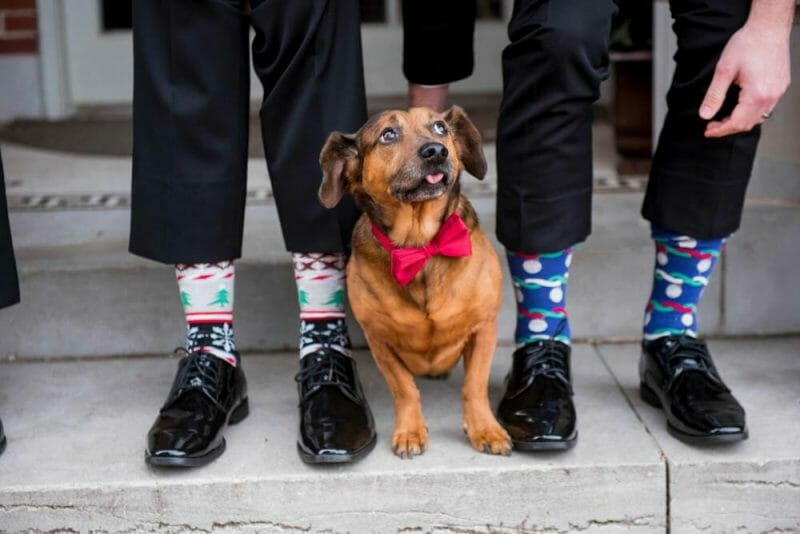 wedding dog with bowtie
