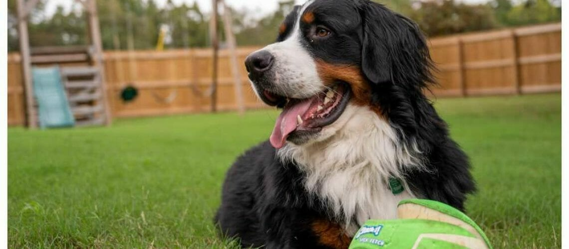 Bernese Mountain dog with ball